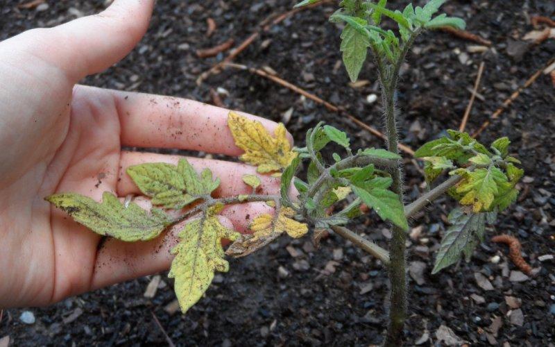 Чому жовтіє листя помідорів у відкритому грунті