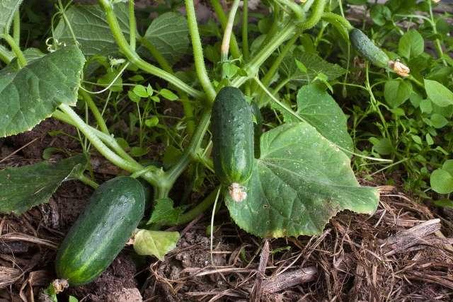 Розсадний спосіб вирощування огірків