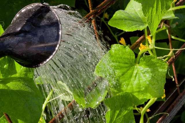 Як поливати огірки