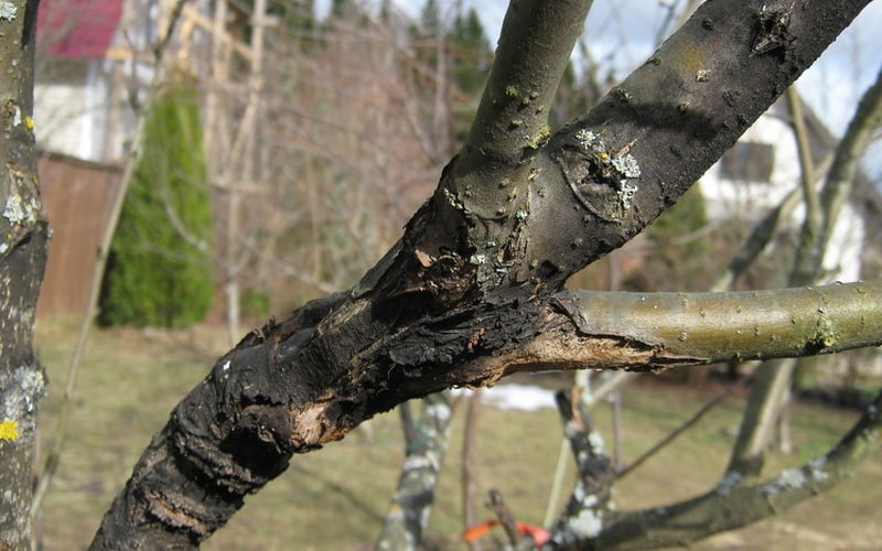 Рак плодових дерев: як боротися