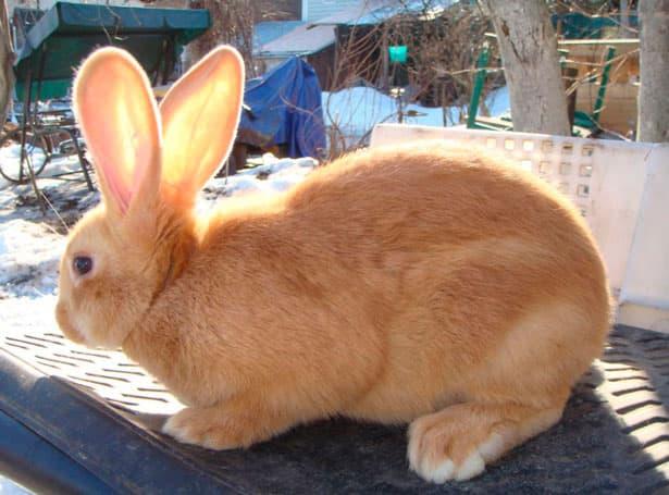 кролик бургундської породи