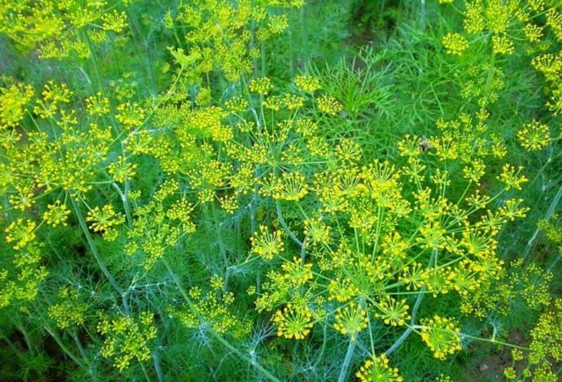 Укроп на дачном участке – как собрать ранний урожай