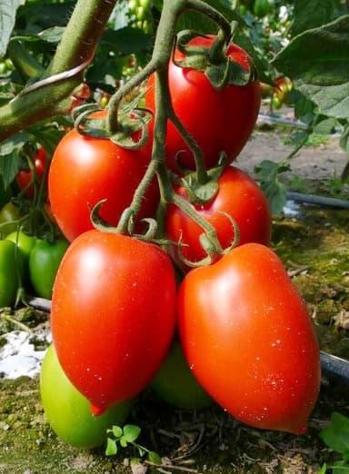 Топ-3 сорта томатов для консервации