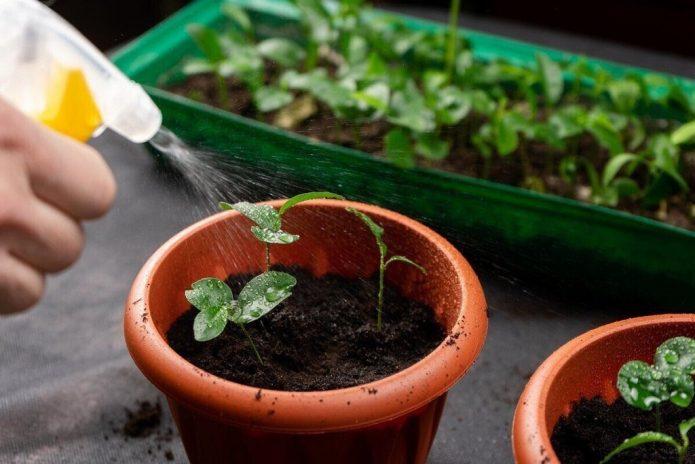 Поради як не можна поливати розсаду