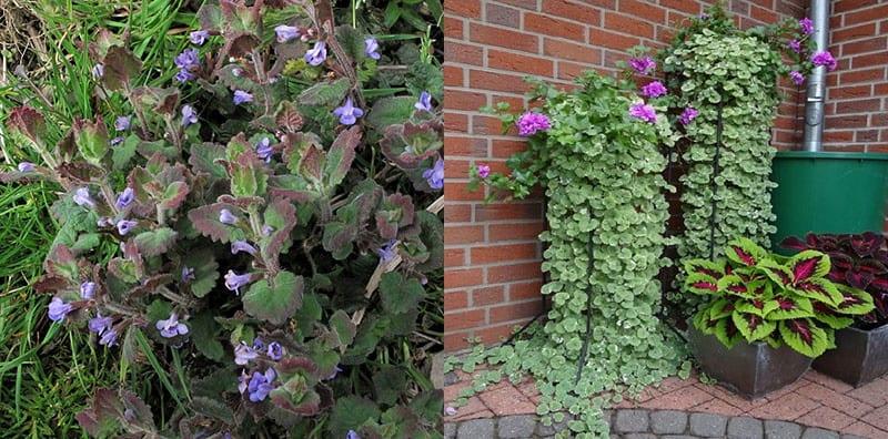 Вивчаємо вирощування будри плющевидной для прикраси дачного саду